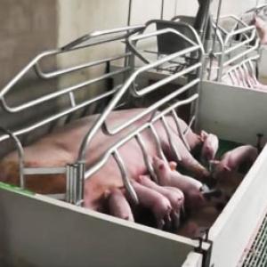 Животноводство, промышленное свиноводство, свиньи, клетка для свиноматки, станки для свиноматки, боксы опороса, поросята, щелевой пол, репродуктор, навоз, навозоудаление, купить в Украине, Днепропетровск, ЧП Куликов