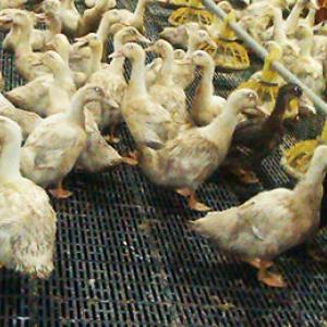Пластиковые щелевые полы для птицеферм, Щелевые полы для птицеферм, Стеклопластиковые лаги для щелевого пола, пластиковые щелевые полы для животноводства, пластиковые щелевые полы для всех возрастных групп, стеклопластиковые ригеля для пластикового щелево